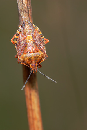 Shield bug  Dolycoris baccarum  on dry grass  Macro photo