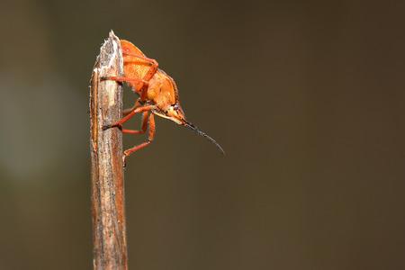 Shield bug  Dolycoris baccarum  on dry grass  Macro photo