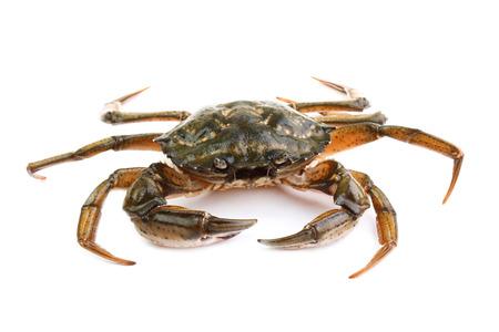 Littoral crab  Carcinus aestuarii  isolated on white