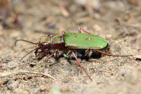 cicindela: Tiger beetle. Macro Stock Photo