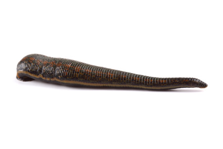 Leech isolated on white Stock Photo