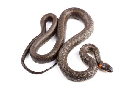 Grass snake (Natrix natrix) isolated on white photo