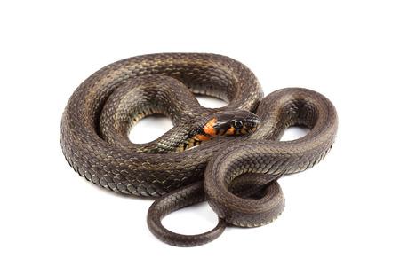 grass snake: Grass snake (Natrix natrix) isolated on white