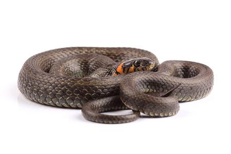 grass snake: