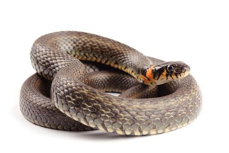 grass snake: Biscia (Natrix natrix) isolato su bianco