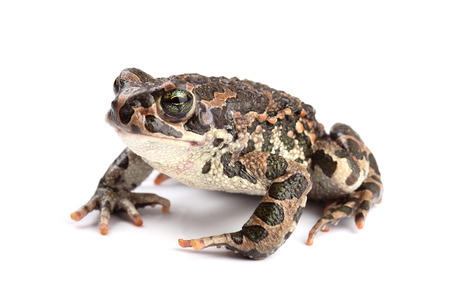 anura: Green toad (Bufo viridis) isolated on white