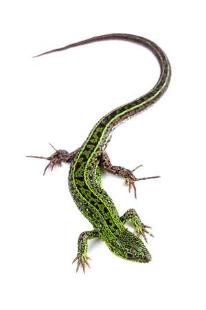 lizard: Sand lizard (Lacerta agilis) isolated on white
