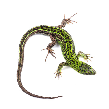 lacertidae: Sand lizard (Lacerta agilis) isolated on white