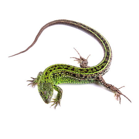 Sand lizard (Lacerta agilis) isolated on white