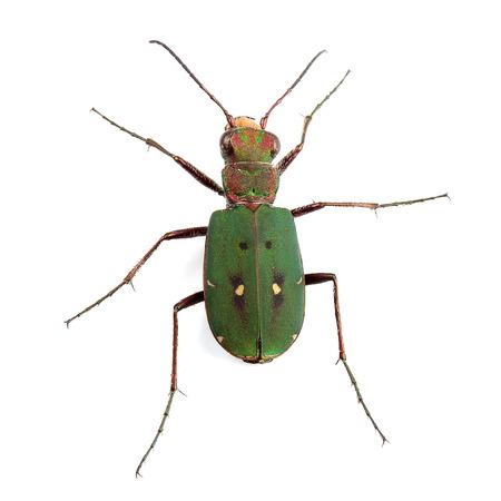 tiger beetle: