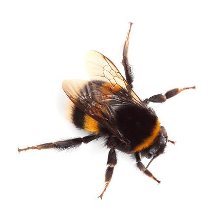 Bumblebee isolated on white 写真素材