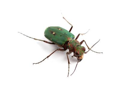 tiger beetle: Verde Tiger Beetle (Cicindela campestris) isolato su bianco Archivio Fotografico