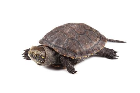 Young European pond turtle isolated on white