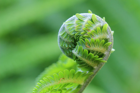 fern fiddlehead: Detail of curled fern frond
