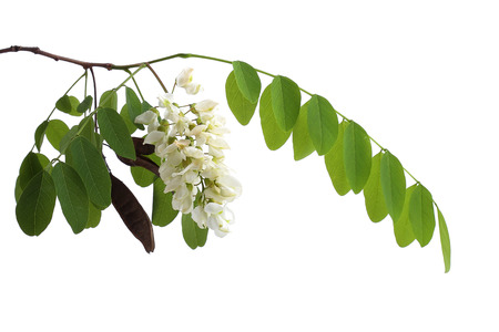 Branch of black locust (Robinia pseudoacacia) isolated on white