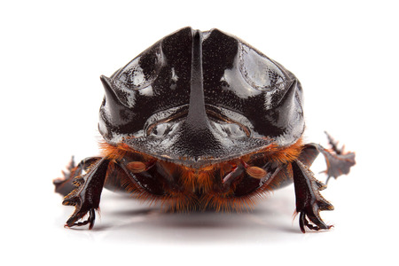 scarabaeidae: Male of beetle (Copris lunaris) isolated on white Stock Photo