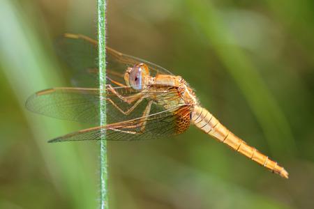 crocothemis: Female of Scarlet Dragonfly. Macro