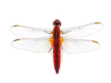 crocothemis: Scarlet Dragonfly (Crocothemis erythraea) isolated on white