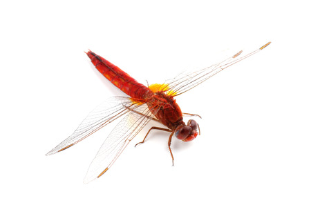 libellulidae: Scarlet Dragonfly (Crocothemis erythraea) isolated on white