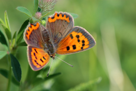 lycaena: Butterfly - Small Copper (Lycaena phlaeas) on the meadow