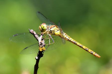 crocothemis: Dragonfly. Macro