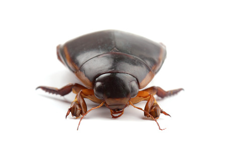Great diving beetle isolated on white
