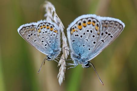 Two butterflies - Common Blue (Polyommatus icarus) photo