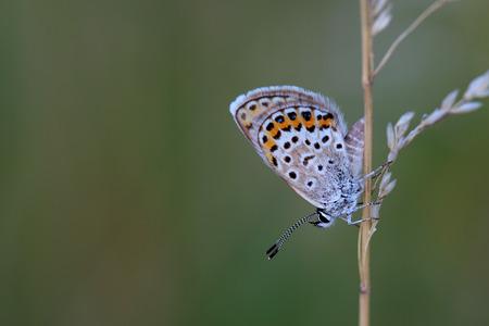 polyommatus icarus: Common Blue (Polyommatus icarus) sitting on dry grass
