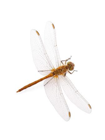 skimmer: Dragonfly Southern Skimmer isolated on white