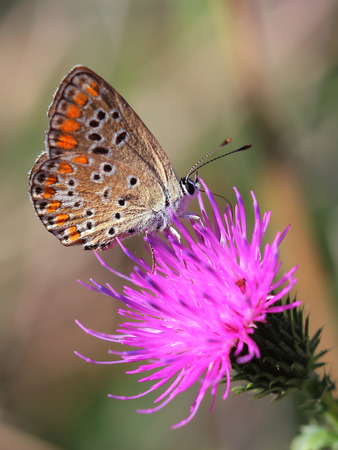Common Blue Polyommatus icarus sitting on violet flower photo