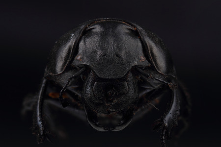 extreme macro: Beetle Lethrus apterus on black. Extreme macro