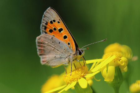 Butterfly - Small Copper (Lycaena phlaeas) on the meadow. Macro