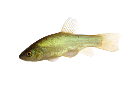 tinca tinca: Tench (Tinca tinca) isolated on white