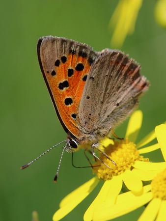 lycaena: Butterfly - Small Copper (Lycaena phlaeas) on the meadow. Macro