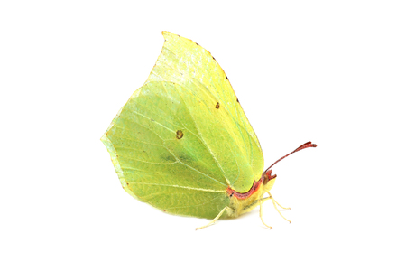 gonepteryx rhamni: Butterfly - Common Brimstone (Gonepteryx rhamni) isolated on white Stock Photo