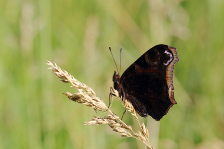 inachis: Butterfly - European Peacock (Inachis io) sitting on dry grass Stock Photo