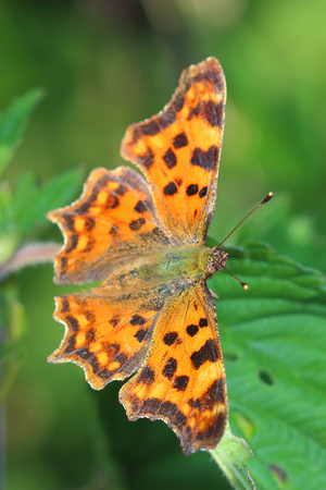 comma: Comma Butterfly (Polygonia c-album) sitting on leaf. Macro Stock Photo