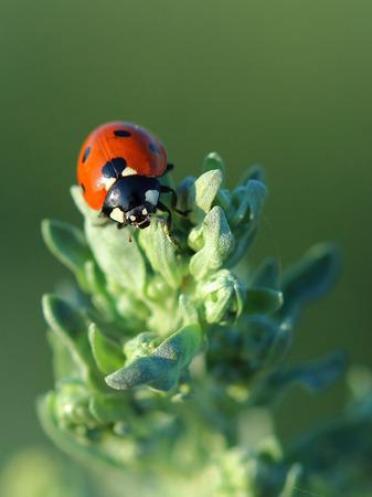 ajenjo: Ladybird on leaves absinthe wormwood. Closeup Foto de archivo