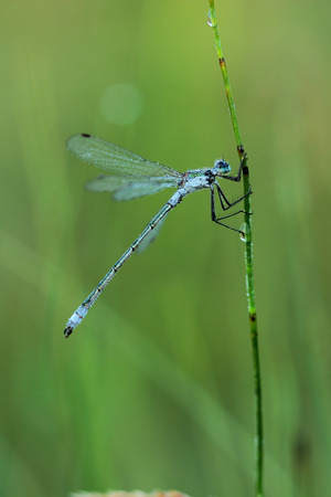 dragonfly wing: Damselfly covered morning dew. Macro Stock Photo