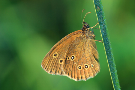 aphantopus: Butterfly - Ringlet (Aphantopus hyperantus) covered morning dew