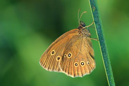Butterfly - Ringlet (Aphantopus hyperantus) covered morning dew