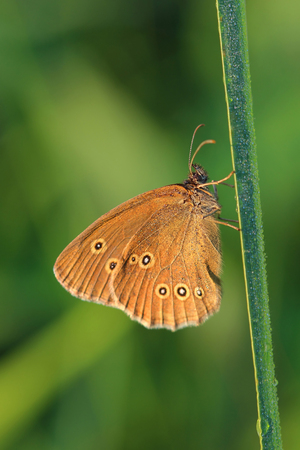 Butterfly - Ringlet (Aphantopus hyperantus) covered morning dew. macro Stock Photo
