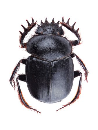 Dung beetle (Scarabeus sacer) isolated on white background