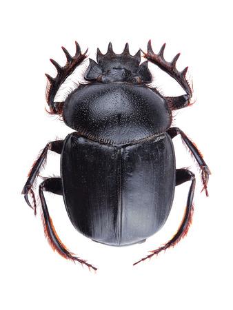 scarabaeidae: Dung beetle (Scarabeus sacer) isolated on white background