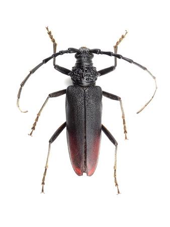 cerdo: Great capricorn beetle (Cerambyx cerdo) isolated on white background