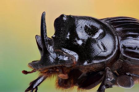 extreme macro: Male of beetle (Copris lunaris). Extreme macro