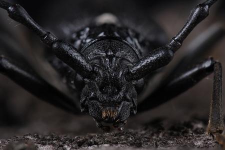 extreme macro: Great capricorn beetle (Cerambyx cerdo). Extreme macro Stock Photo