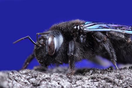 extreme macro: Violet carpenter bee. Extreme macro on blue background