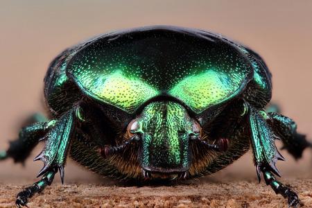 extreme macro: Beetle - rose chafer (Cetonia aurata). Extreme macro