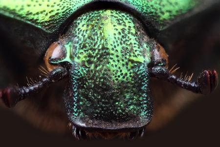 extreme macro: Head of beetle - rose chafer (Cetonia aurata). Extreme macro Stock Photo